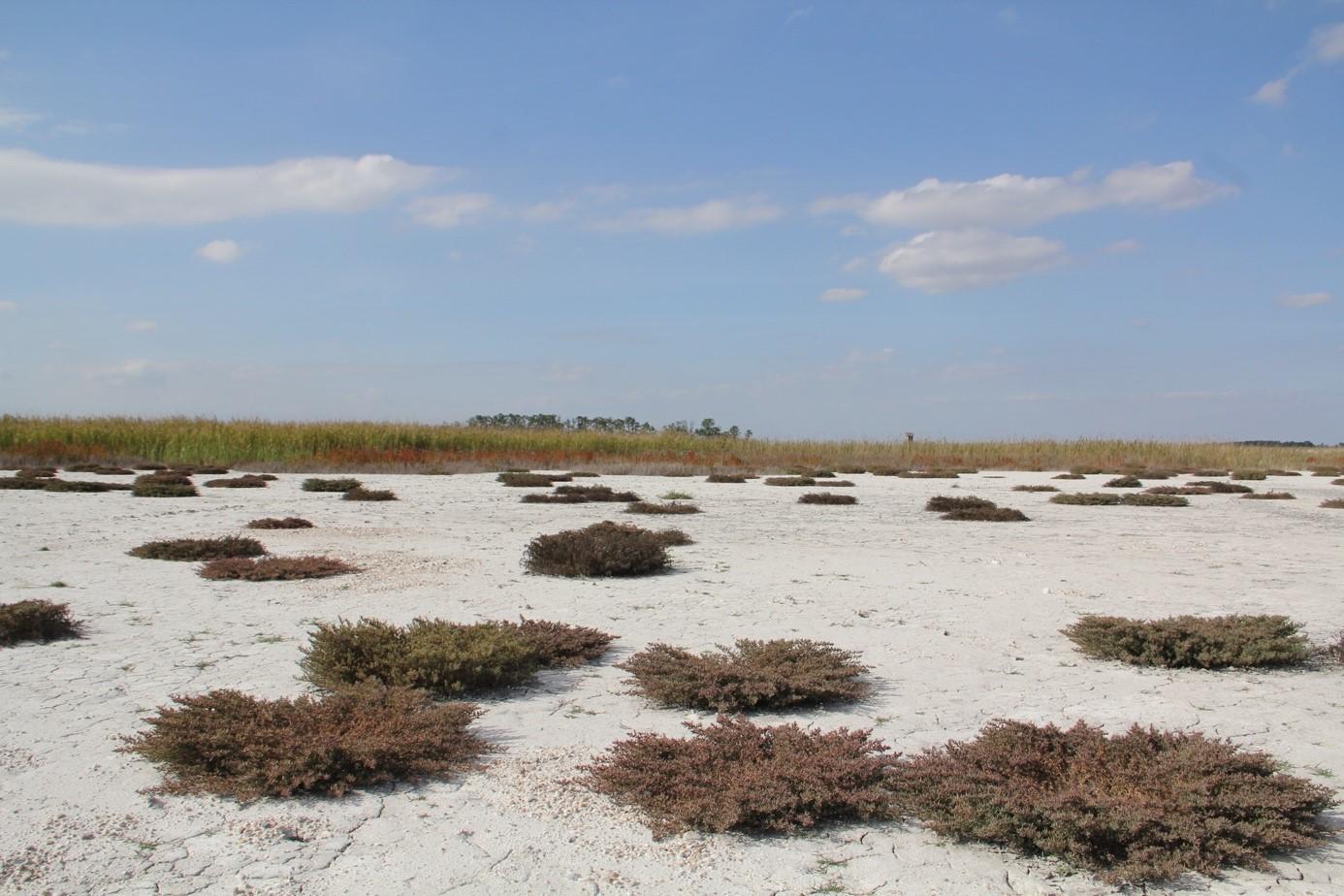 Dry saline lake with Salicornia prostrata